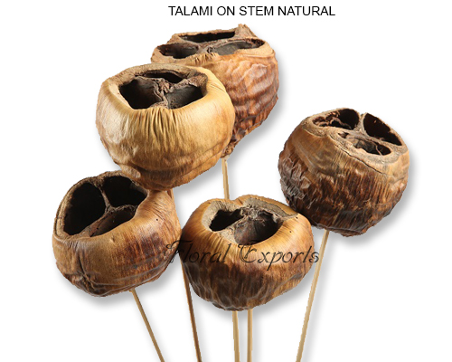 TALAMI ON STEM NATURAL